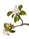 Apple blomningar Arkivfoto