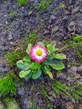 Den första blommande rosa tusenskönablomman, i tidig vår arkivbilder