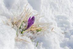 Den första furplecrocusen i snön Arkivfoto