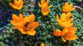 Den första inledningen av blommor, gula snödroppar arkivbild