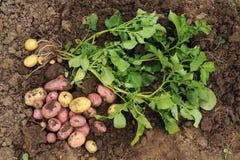Den första skörden av unga potatisar Arkivfoto