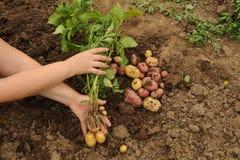 Den första skörden av unga potatisar Royaltyfri Fotografi