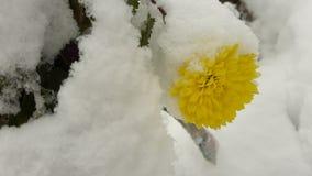 Den första snön avverkar på en gul blomma arkivfoto