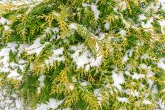Den första snön ligger på de gröna och gula filialerna av thujaen A arkivbild