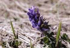 Den första vårblomman på bakgrunden av torrt gräs fotografering för bildbyråer