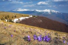 Den första våren blommar i bergen Arkivfoton