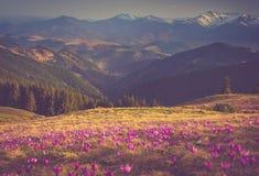 Den första våren blommar krokus, så snart som snö stiger ned på bakgrunden av berg Royaltyfria Bilder