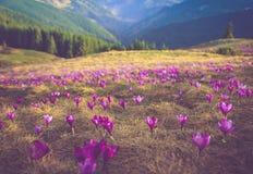 Den första våren blommar krokus, så snart som snö stiger ned på bakgrunden av berg Arkivbild