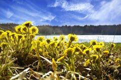 Den första våren blommar tussilagoTussilagofarfara, mot Royaltyfria Bilder