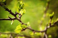 Den första våren förgrena sig makrobaksida Arkivbilder