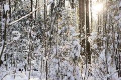 Den första vårsolen i vintern och dentäckte skogen Royaltyfria Bilder