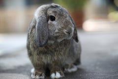 den förtjusande bruna kaninen holland lop älskvärd kanin Arkivbild