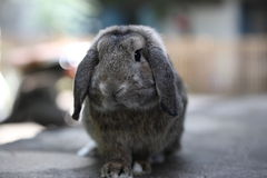 den förtjusande bruna kaninen holland lop älskvärd kanin royaltyfri fotografi