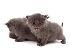 Den förtjusande gråa kattungen jamar på kameran Arkivbild