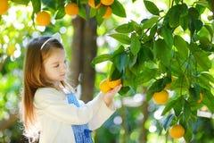 Den förtjusande lilla flickan som väljer nya mogna apelsiner i soligt orange träd, arbeta i trädgården Fotografering för Bildbyråer