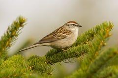 Den förtjusande vårsångfågeln sätta sig på ett sörjaträd Fotografering för Bildbyråer