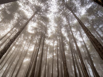 Den förtrollade dimmiga skogen av sörjer Arkivfoton