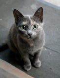 Den förvånade katten med rullar med ögonen stora ögon Blåa färgglade kattstirranden C Arkivfoto