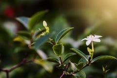 Den Fagerlindia sinensisen planterar dem i din trädgård, så härligt och lukt royaltyfri foto
