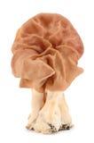 Den falska morelen (esculenta Gyromitra) Arkivbild