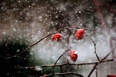 Den fantastiska häftiga snöstormen täckte de lösa rosorna Arkivfoton