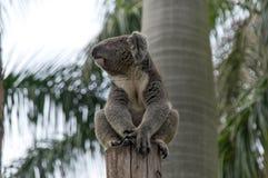 Den fantastiska koalan placerar på trädet Fotografering för Bildbyråer