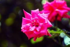 Den fantastiska lillfingret Rose Flower royaltyfria foton