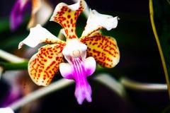 Den fantastiska orkidén med tricolor vanda royaltyfri bild