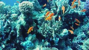 Den fantastiska undervattens- världen av Röda havet Djup av 5 meter, många koraller och den färgrika exotiska fisken arkivfilmer