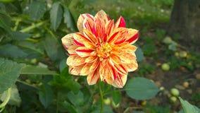 Den fascinerande blomman tilldrar dig den dess funderaren en mycket ovanlig färgläggningfärgläggning Royaltyfria Foton