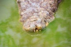 Den fasliga krokodilen dyker upp från vattnet med ett toothy grinar royaltyfri bild