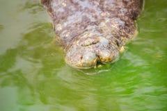 Den fasliga krokodilen dyker upp från vattnet med ett toothy grinar royaltyfri fotografi