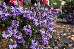 Den felika fanblommaväxten, halva blomkronor blommar Arkivbild