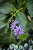 Den felika fanblommaväxten, halva blomkronor blommar Arkivfoto