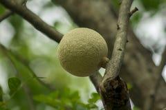 Den Feronia limoniaen på trädet är en medelperenn royaltyfria foton