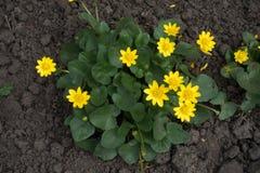 Den Ficaria vernaen med guling blommar från över Fotografering för Bildbyråer