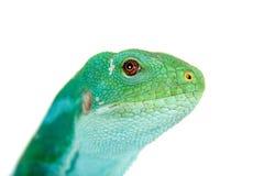 Den Fiji satte band leguanen på vit Fotografering för Bildbyråer