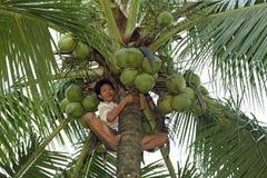 Den filippinska mannen klipper kokosnötter i överkant av palmträdet Fotografering för Bildbyråer