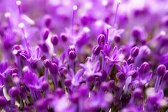 Den fina nya abstrakta lilan blommar närbilden, makrosikt Härlig naturlig blom- bakgrund, alltid trendigt modernt Royaltyfri Foto