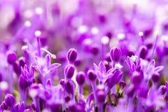 Den fina nya abstrakta lilan blommar närbilden, textur, selektiv fokus Härlig naturlig blom- bakgrund, innegrej Royaltyfria Bilder