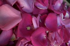 den fina petalspinken steg Royaltyfria Bilder