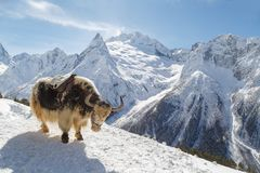 Den finniga yaken står på bergssidan mot bakgrunden av de Caucasian bergen, Dombai på en solig dag för vinter arkivbilder
