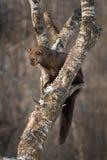 Den Fisher Martes pennantien slickar näsan i träd Royaltyfri Bild