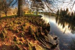 Den Fisheye sikten av den skalliga cypressen rotar bredvid sjön fotografering för bildbyråer