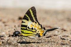 Den Fivebar Swordtail fjärilen Royaltyfri Fotografi