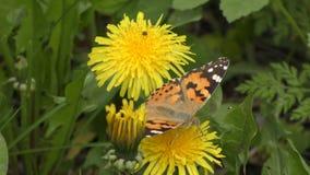 Den fjärilskardborreVanessa carduien samlar nektar från en maskrosblomma stock video