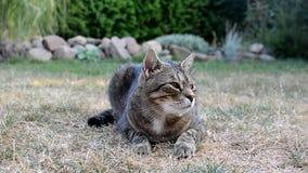 Den fläckiga gråa katten gäspar i trädgården stock video