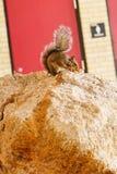 Den Florida ekorren vaggar på Arkivfoton