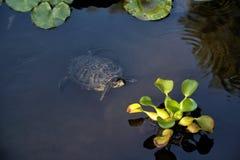 Den Florida sköldpaddaTrachemys scriptaen simmar i ett damm arkivbilder
