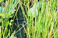 Den Florida USA alligatorn parkerar september behandla som ett barn alligatorer Royaltyfria Bilder